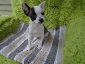 FRENCHTONXCHIHUAHUAque 2 dispo  male femelle