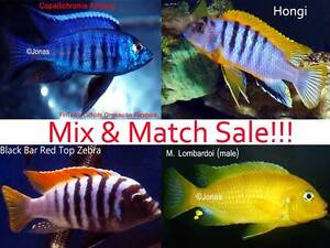 African Cichlids.....Pack of 8 bigger display fish / males! Ormeau Gold Coast North Preview