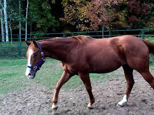 $850 QH gelding comes with tack!