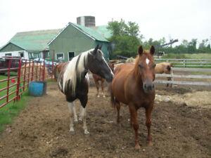 (5) Broke Quarter horses for Sale