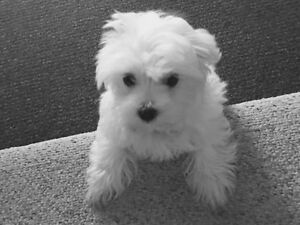 Maltese pups-miniature-ready for new home Edmonton Edmonton Area image 1