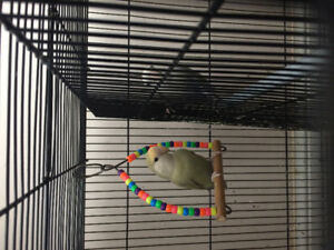 Love birds for rehoming