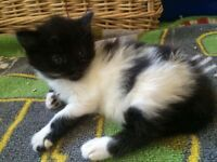 Adorable kittens ( mother 1/4 Mainecoon father Turkish van cross)