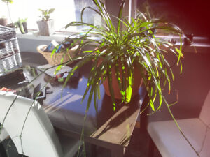 Large Spider Plant needs a home