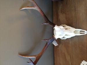 Crâne blanchie chevreuil orignal (chasse)