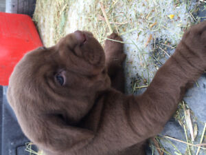 Choclate lab puppies