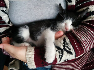 free to a loving home- sweet little calico girl kitten