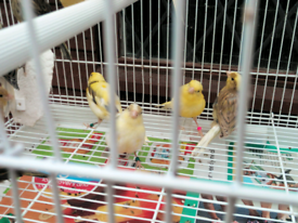 Canary's / Canarie's for sale