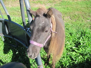 Partial Herd Dispersal of Miniature Horse Mares Kawartha Lakes Peterborough Area image 2