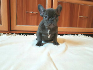 Adorable Blue french bulldog male for sale