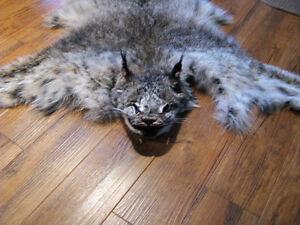 peau de lynx du canada Saguenay Saguenay-Lac-Saint-Jean image 2