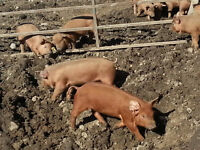 Red Wattle Piglets for Sale