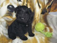 Miniature Schnauzer Puppies Ready for VALENTINES DAY