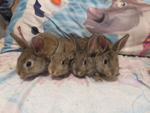 Flemish Giant Cross Harlequin Baby Bunnies! Ready Now!