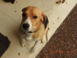 Loveable Male Beagle For Sale Thornton Maitland Area Preview