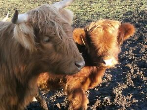 Quality Highland Cattle for Sale Kitchener / Waterloo Kitchener Area image 4