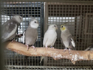 BREEDING PAIRS AND SINGLES COCKATIELS FOR SALE