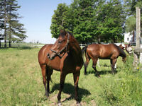 TALENTED THOROUGHBRED GELDING AVAILABLE FOR PART-BOARDING