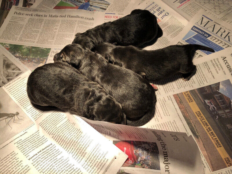 CKC Registered German Shepherd Puppies | Dogs & Puppies for Rehoming