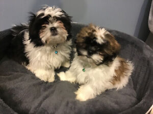 Shih-tzu Puppies Needing Forever Homes!