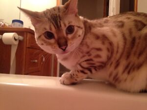 Lost snow Bengal cat. On nevers Rd Lincoln 100$ reward