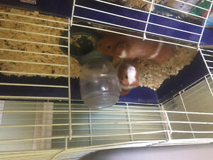 Two male guinea pigs needing a new home