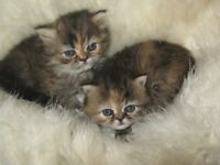 GOLDEN CHINCILLA PERSIAN KITTENS