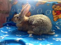 Beautiful Purebreed Flemish Giant Bunnies For Sale