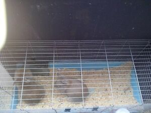 Lion Head Rabbits for SALE!! London Ontario image 2