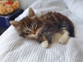 Maine Coon / Norwegian Forest Mix Kitten