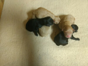 Mini Poodles for sale