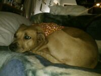 Active home wanted for Rhodisian Ridgeback Mix Girl