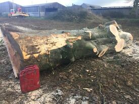 Huge lump of stained Beech Tree