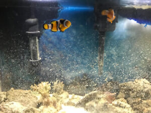 10 gallon nano reef tank with pair of clown fish and hermitcarbs