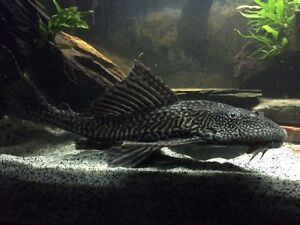 Foot long common pleco, make me an offer.