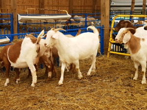 13-15 bred doelings and does for sale, boer