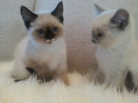 Regdoll - siamese kittens are ready for new home