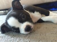 Available- Boston Terrier x Chihuahua