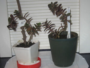 TWO YOUNG JADE TREE HOUSE PLANTS for your PLEASURE