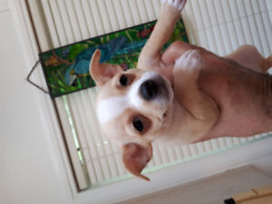 Beautiful healthy Chihuahua pups looking for new  homes