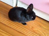 Selling baby Dwarf black bunny