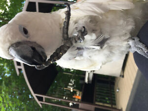 Cockatoo | Adopt Local Birds in Canada | Kijiji Classifieds