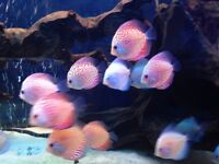 Mix of 15 discus tropical fish live mix strains red yellow orange grey 2/3""