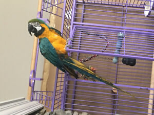 5 years old female blue and gold macaw for sale