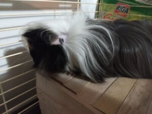 2 gorgeous male guinea pigs looking for new home asap