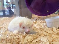 Albino Female Hedgehog