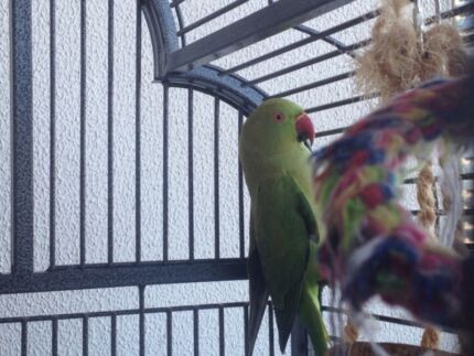INDIAN RINGNECK couple with cage Surfers Paradise Gold Coast City Preview