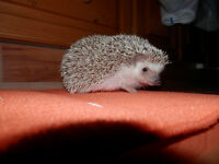 Great Pet Hedgehog