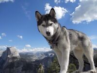 Looking for a Husky .