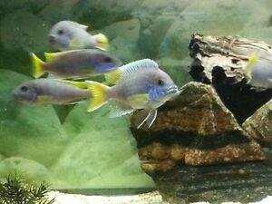 Yellow Tail Acei (Breeding group 1M - 3F)